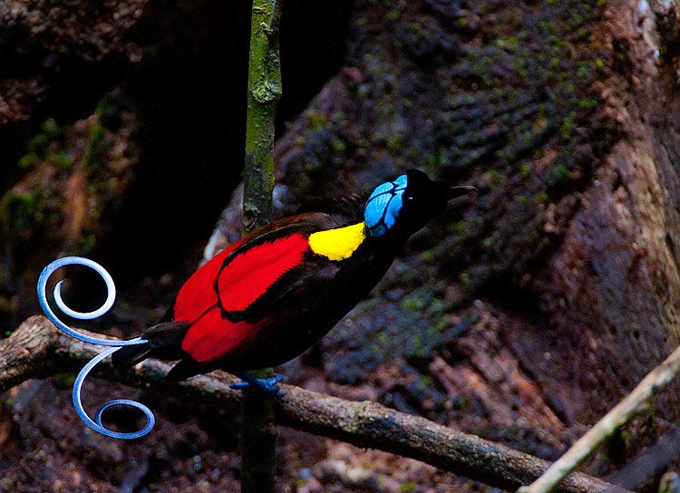 Райская птица Уилсона 22