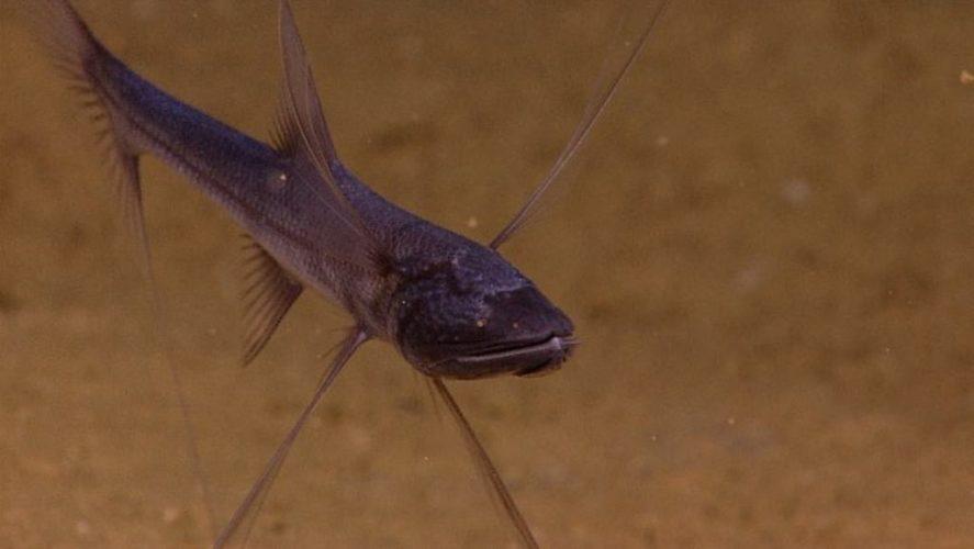 Рыба-тренога
