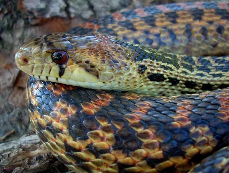 Сосновая змея987