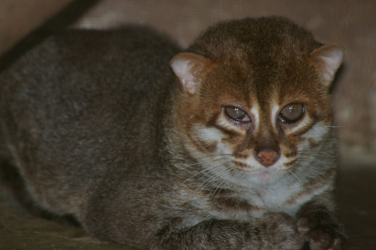 Суматранская кошка11