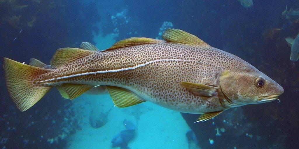 фото рыбы трески