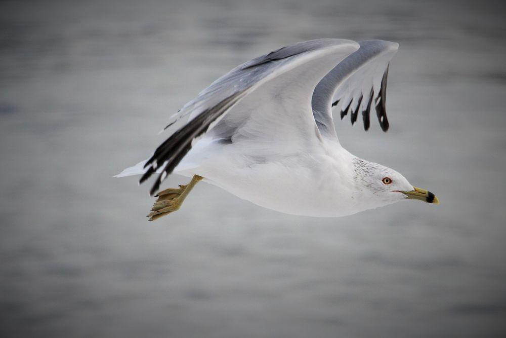 Чайка 2314