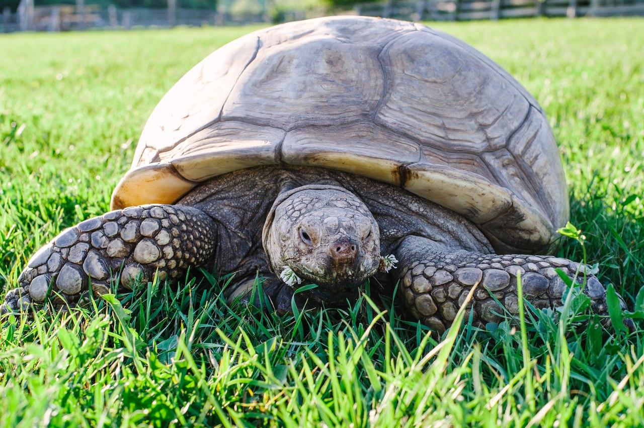 Шпороносная черепаха11