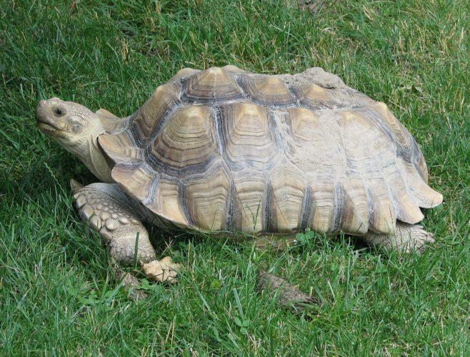 У черепах обнаружили встроенный солнцезащитный крем