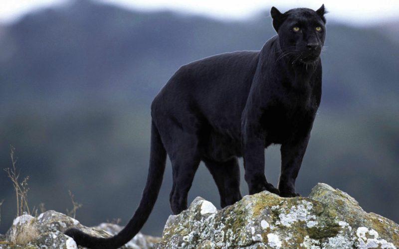 Пантера – привидение леса