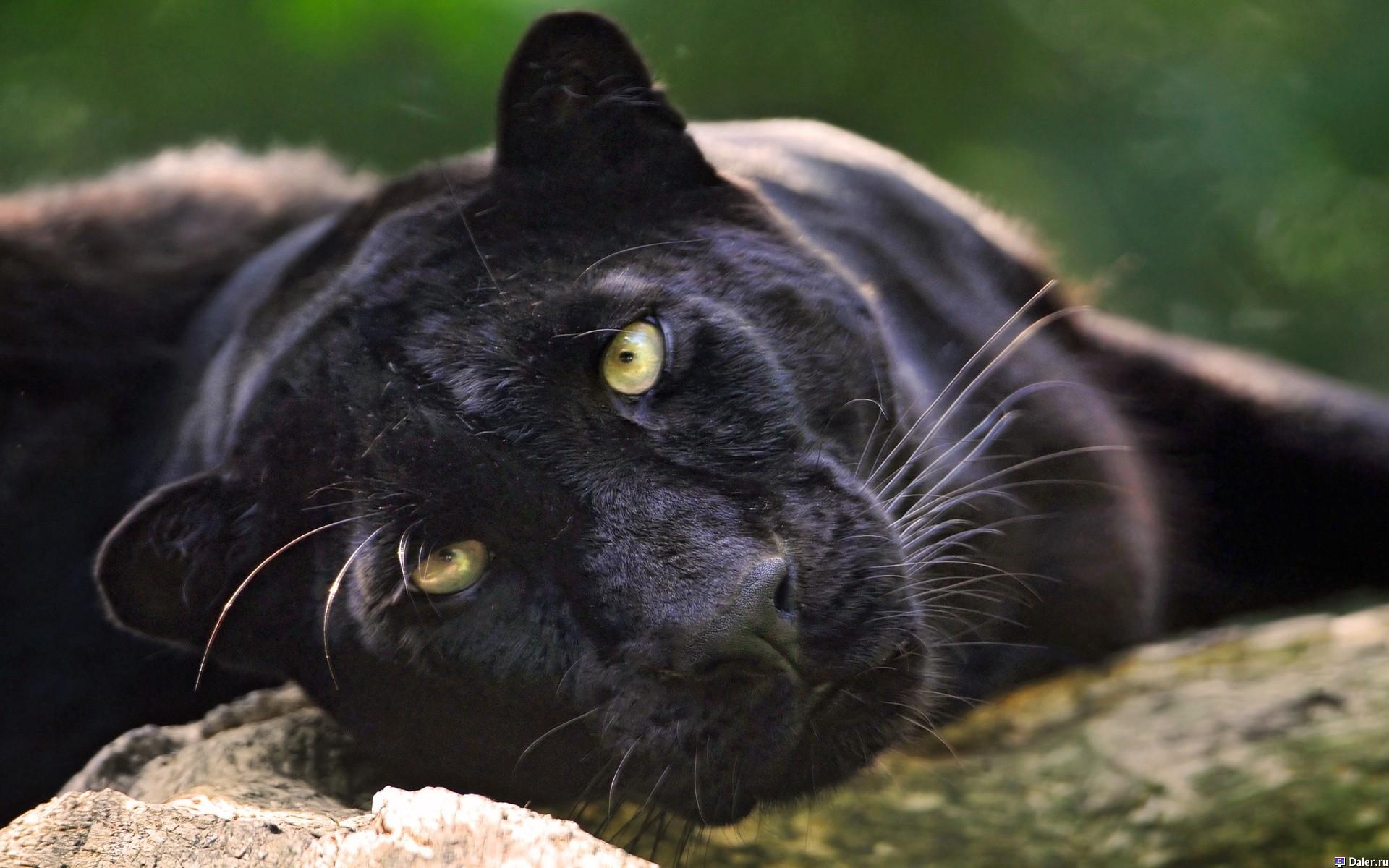 пантера2