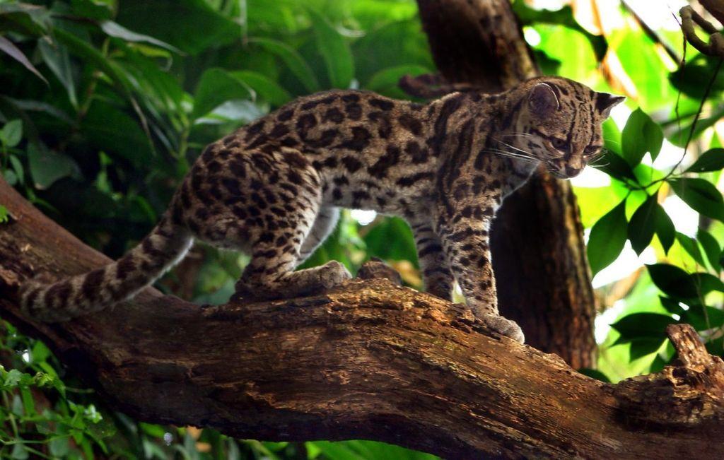 чилийская кошка22