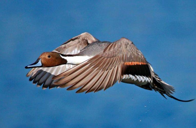 Северная шилохвостая утка