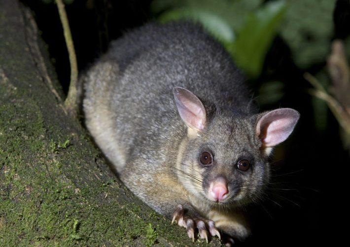 Обнаружен новый вид крыс весом 1 кг
