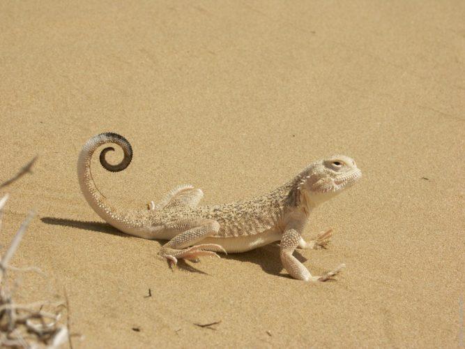 Песчаная ящерица