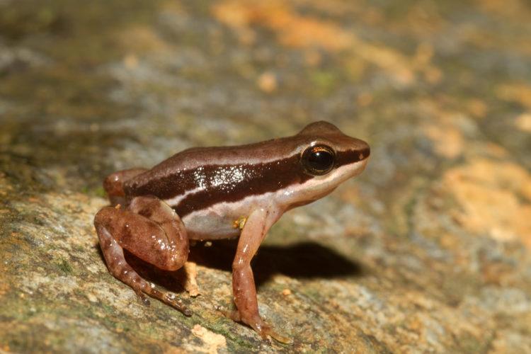 Полосатая древесная лягушка
