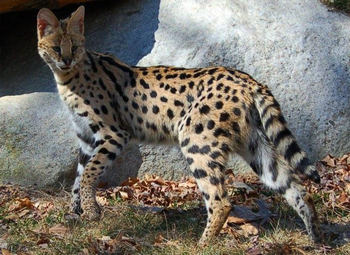 Сервал – дикое животное или ласковый кот?