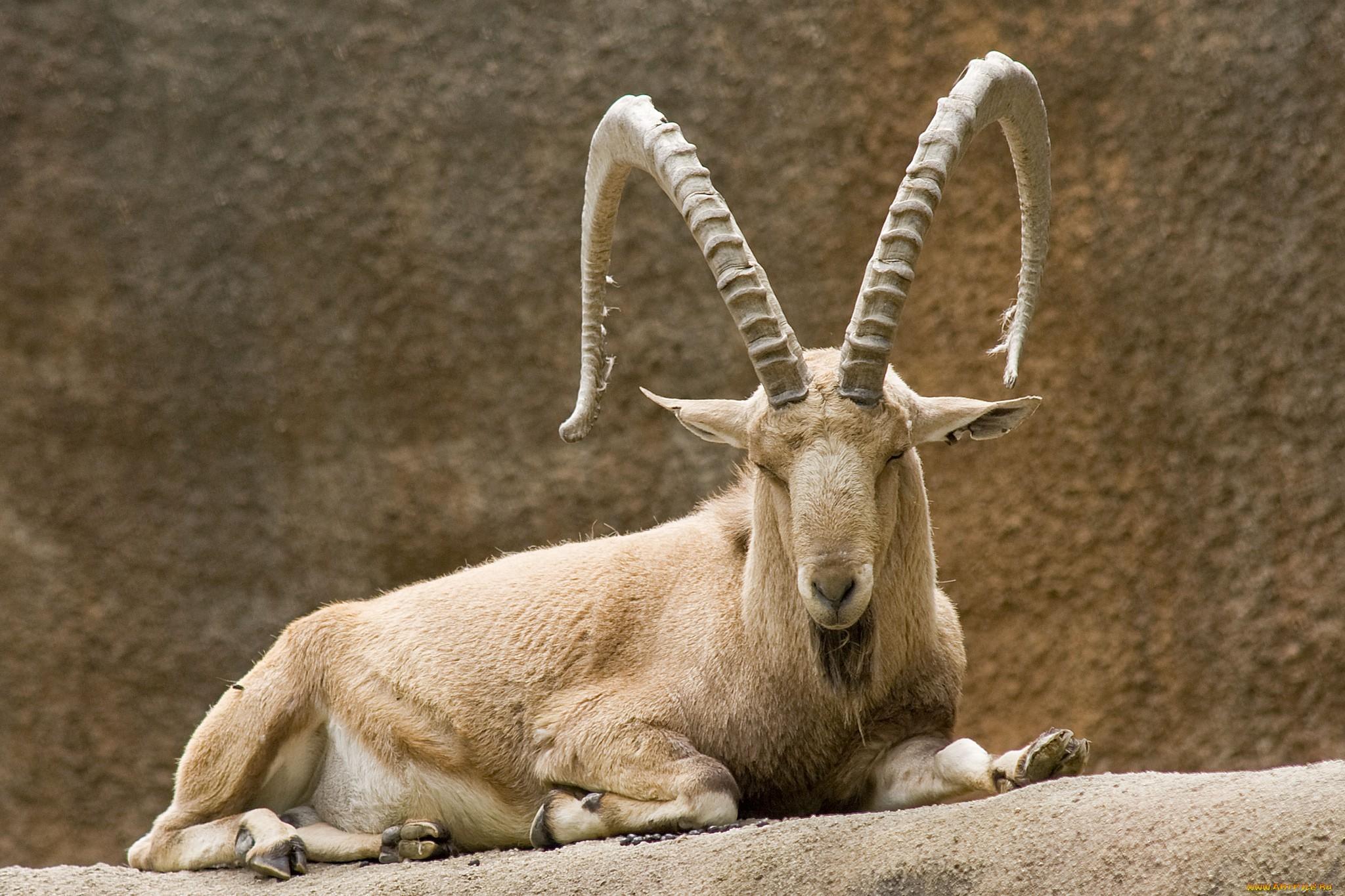 Рамс – горная овца