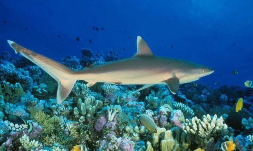 Черноносая серая акула