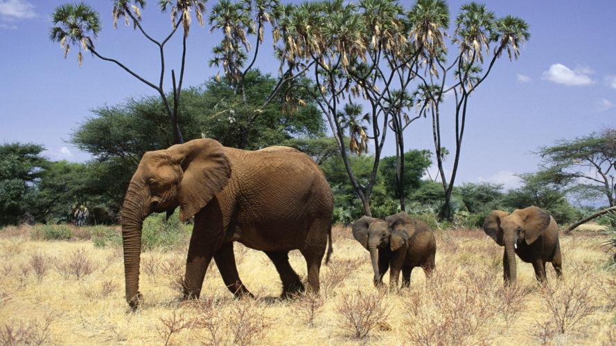 Слоны под угрозой исчезновения