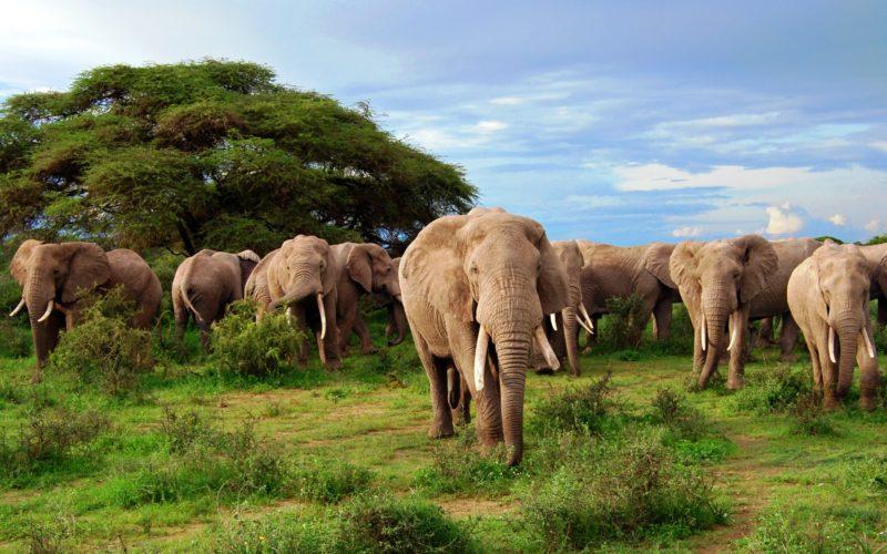 Слоны – жители Африки
