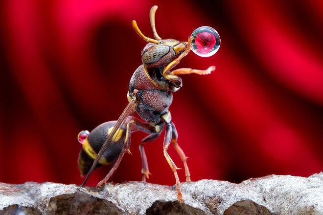 Как осы выдувают пузыри?