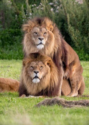 Могут ли львы проявлять гомосексуализм? Ответ однозначен: нет!