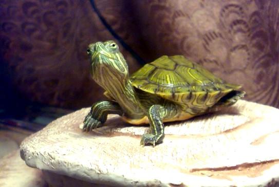 Почему черепахи зимуют под водой