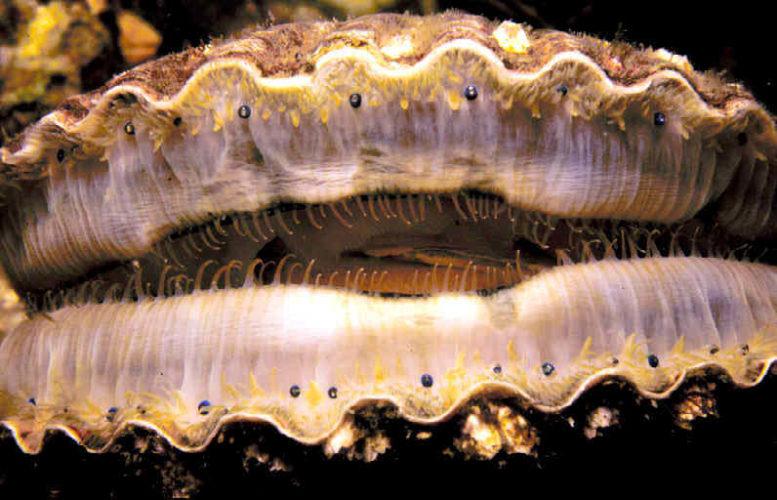 Как устроено зрение морского гребешка
