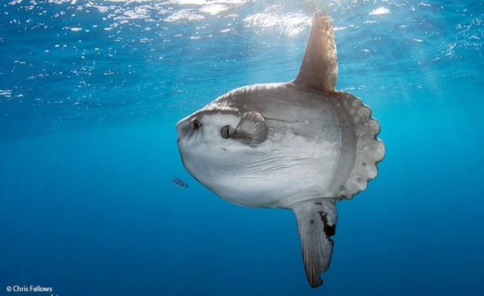 Mola - самая большая рыба в мире