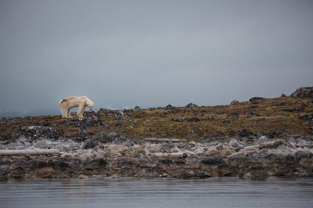 Белые медведи умирают в голоде