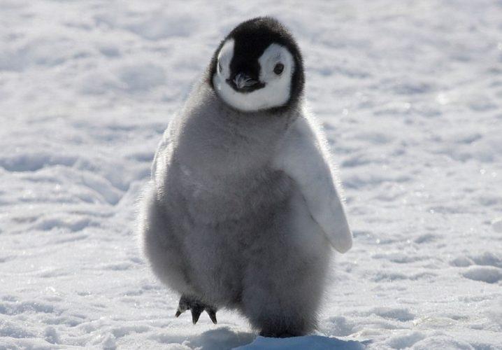 Самый большой в истории пингвин