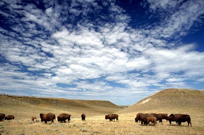 Чем отличается бизон от буйвола?