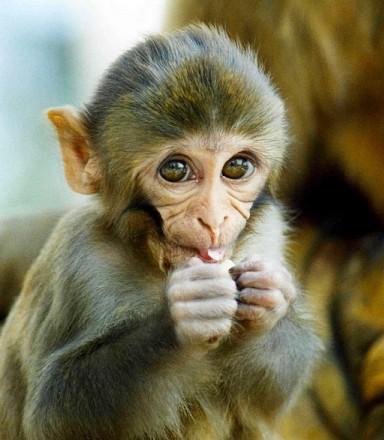 Во Флориде обезьяны стали разносчиками герпеса