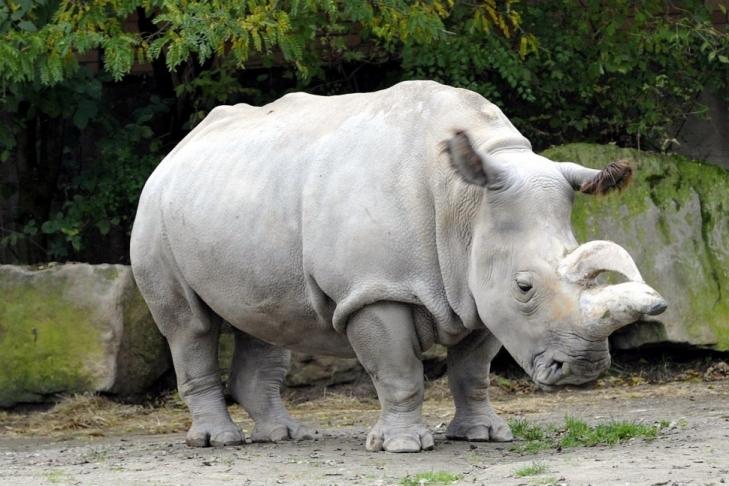 Последний в мире носорог требует помощи