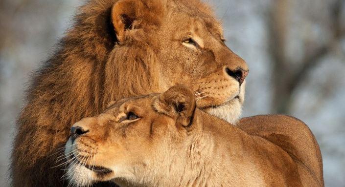 Львы, медведи, тигры - самые грозные животные на грани вымирания