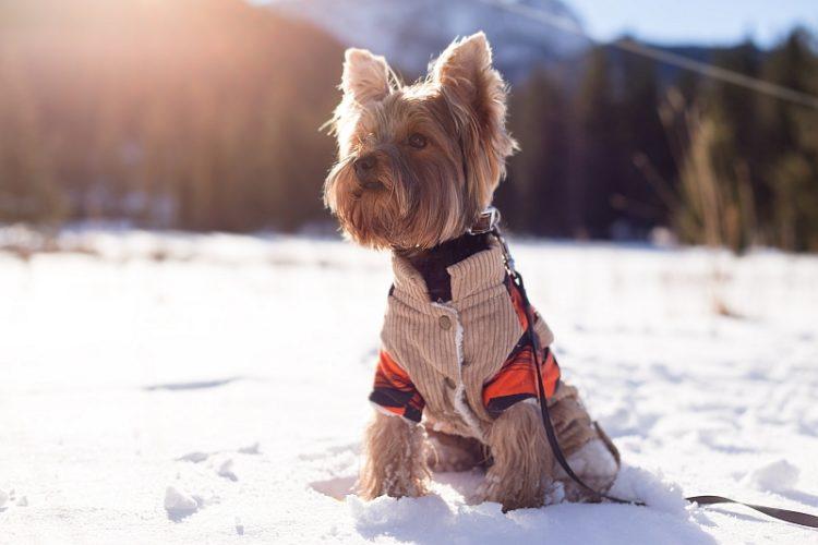 Как приучить собаку носить одежду?